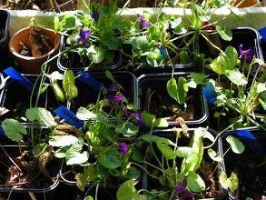 Photo: Violettes en vrac