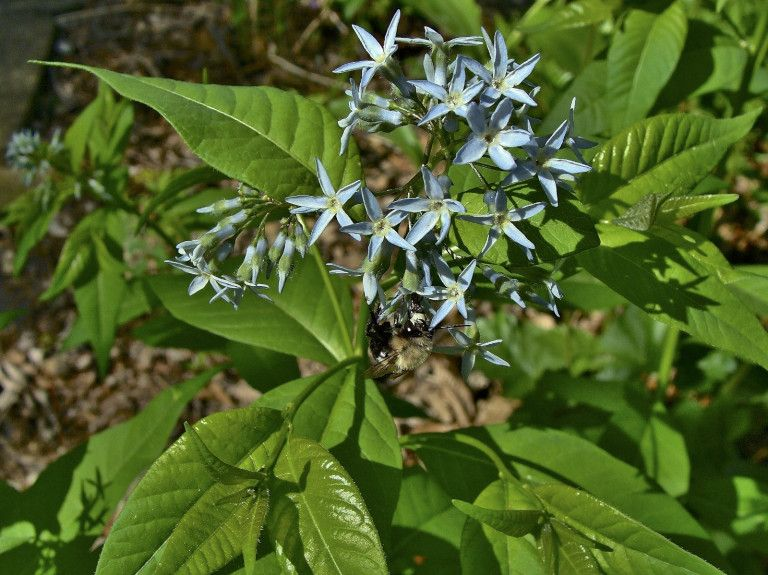 Know Your Natives Eastern Bluestar Wild Flowers Perennials