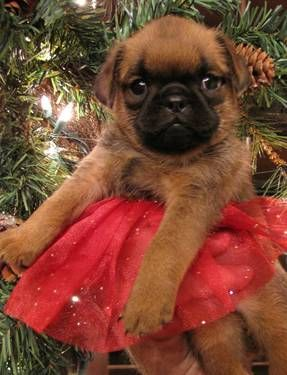 More puppy candy...Snicker Bar =) Brussels griffon smooth coat