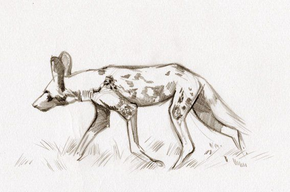 Line Drawings Of African Animals : African wild dog creature animal design pinterest dogs