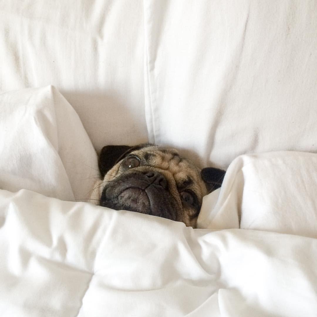 Resultado de imagen para pug in bed