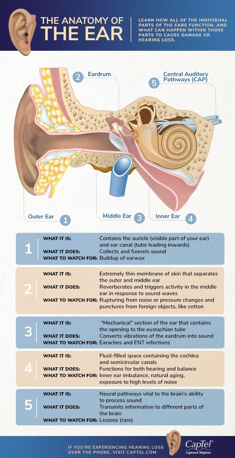 The Anatomy of the Ear Infographic | Basic anatomy and ...