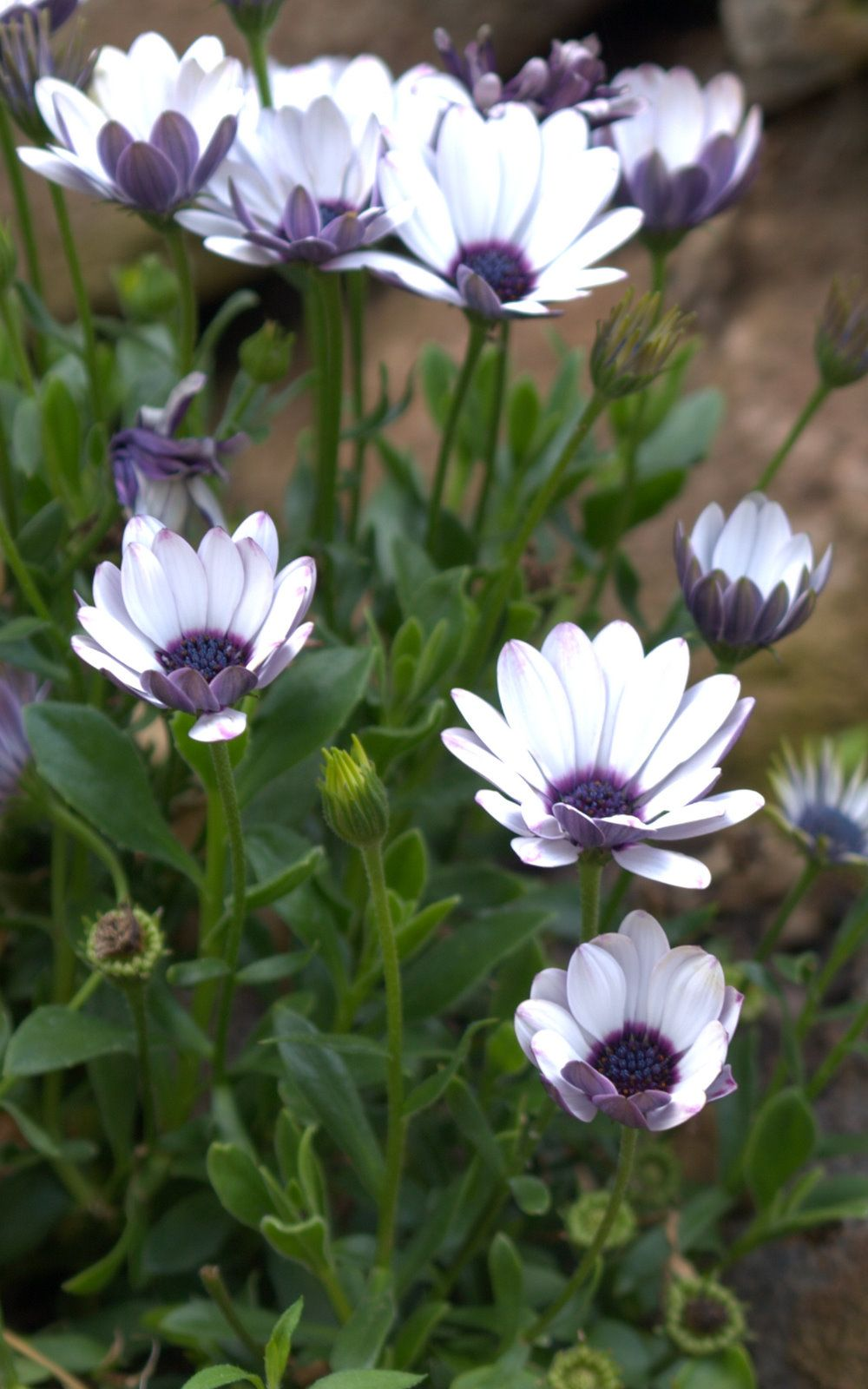 Osteospermum But We Like To Call Them Osteos Very Amazing Plant