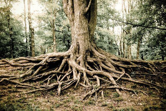 Woodland Tree Roots Photography Fine Art Print Tree Roots Print Gnarled Roots Nature Photography Rustic Decor Nature Decor Tree Print Tree Photography Tree Roots Nature Art Prints
