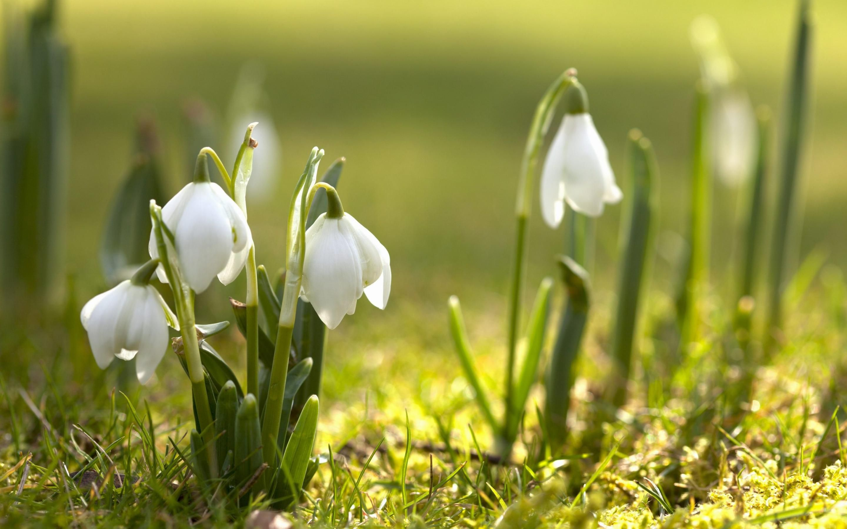 Spring Snowdrops Inspire Accents Or Broad Strokes Of White In Design Think Crisp White Linens And Wi Spring Flowers Wallpaper Spring Wallpaper Spring Flowers