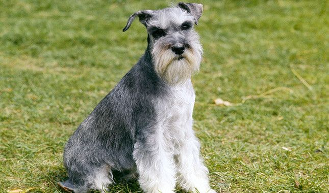 The Top Five Schnauzer Rescues In The United States With Images