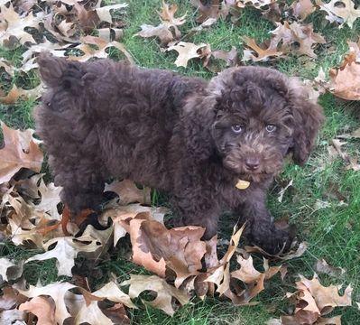 Australian Shepherd Poodle Miniature Mix Puppy For Sale In