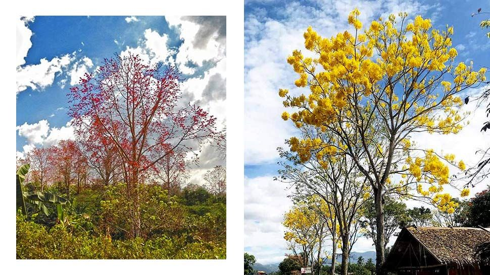The Most Beautiful Philippine Trees That Can Rival Japan S Cherry Blossoms Growing Tree Flowering Trees Fast Growing Shade Trees