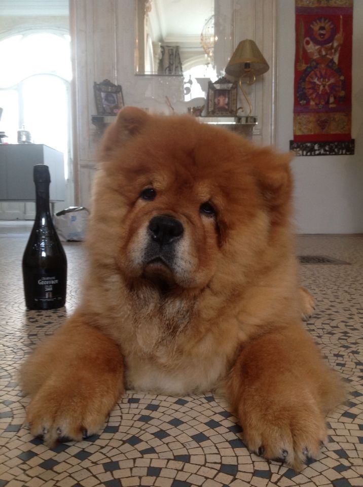 Jakob Aussi Aime Le Champagne Chow Chow Dogs Chinese Dog Dog