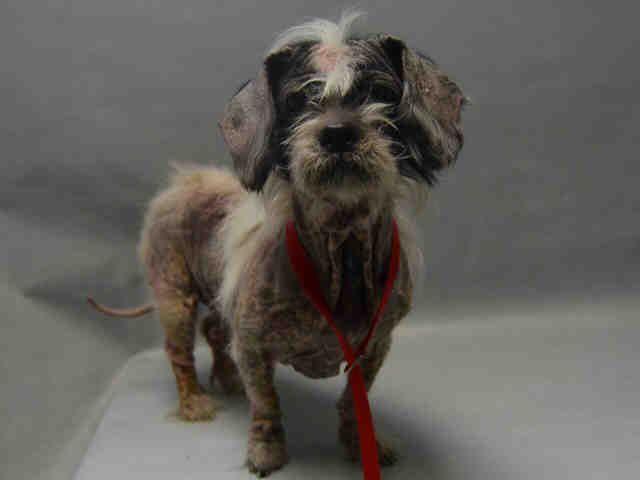 Gorda A1098590 Dog Adoption Shih Tzu Mix