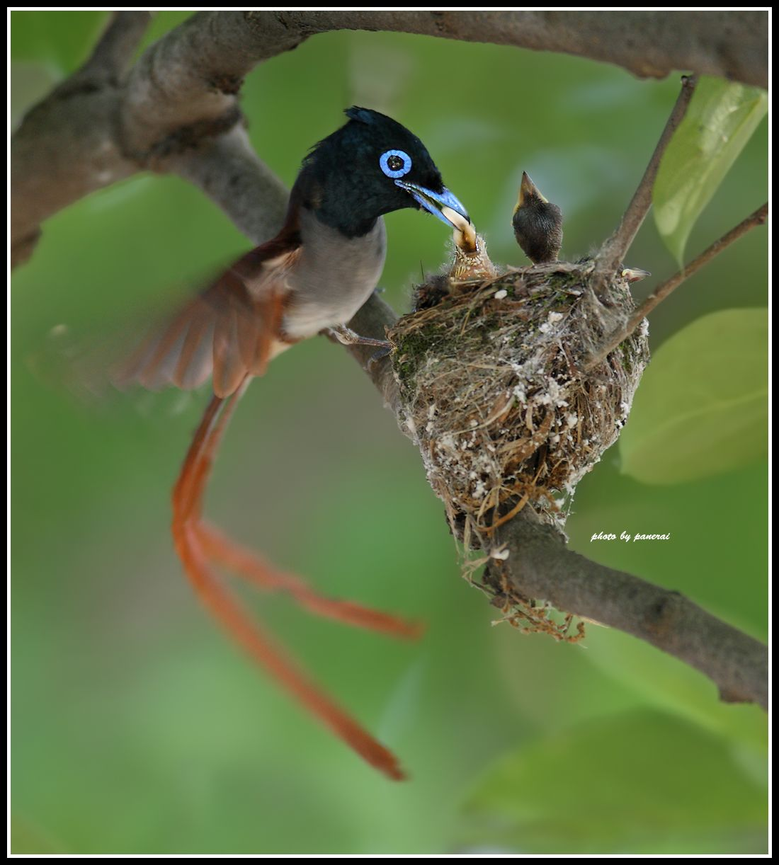 Asian Paradise Flycatcher Flycatcher, Birds, Passerine bird