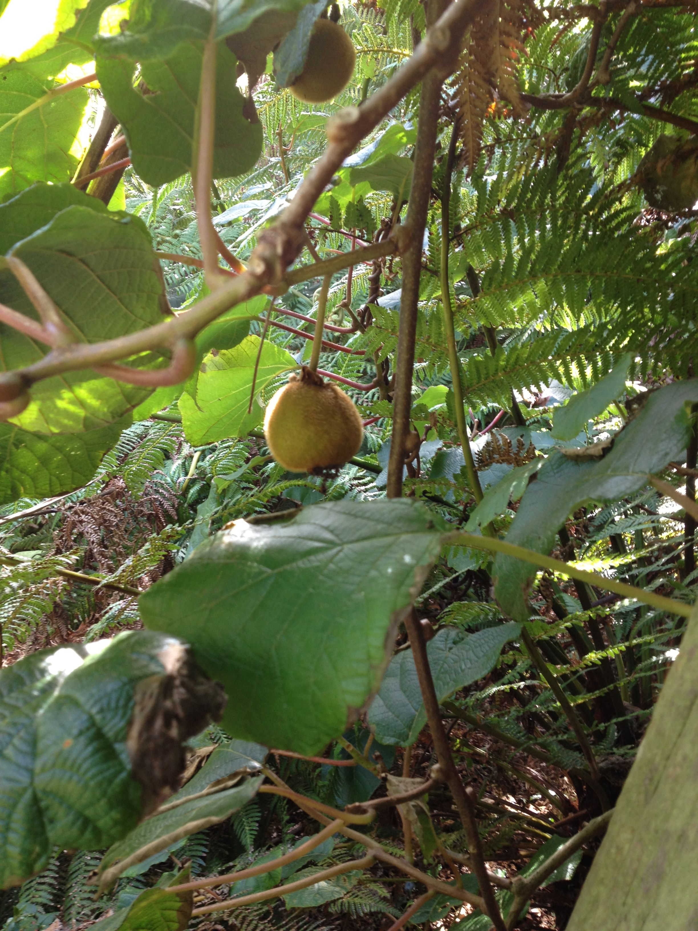 Kiwi Fruit Treevine Growing In A Park