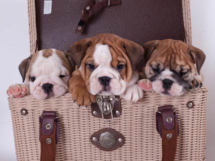 Champion English Bulldog Puppies Cute Cats Dogs English