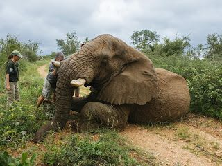 Elephant at risk of being legally shot dead if he keeps going home