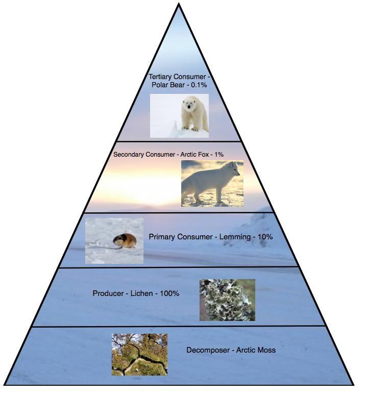 Arctic Ocean Food Web: Arctic Tundra Biome Food Web