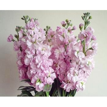 Fiftyflowers stock light pink flower 14 bunches 140 stems for fiftyflowers stock light pink flower 14 bunches 140 stems for 18999 mightylinksfo Gallery