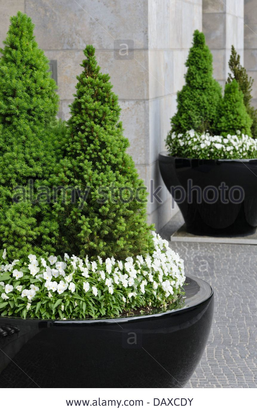 Dwarf Alberta Spruce Picea Glauca Conica And Violets