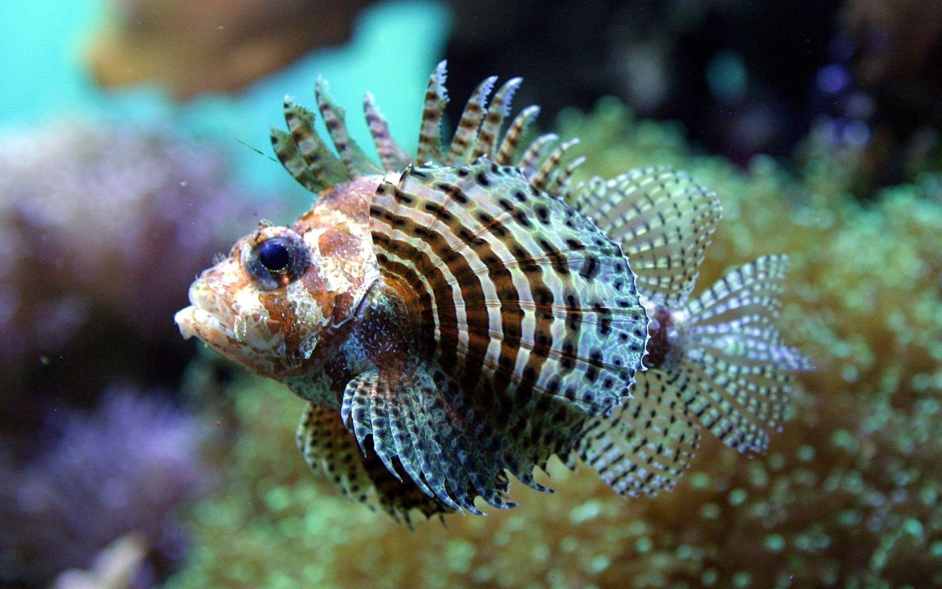 a lionfish fish photography pinterest fish beautiful fish