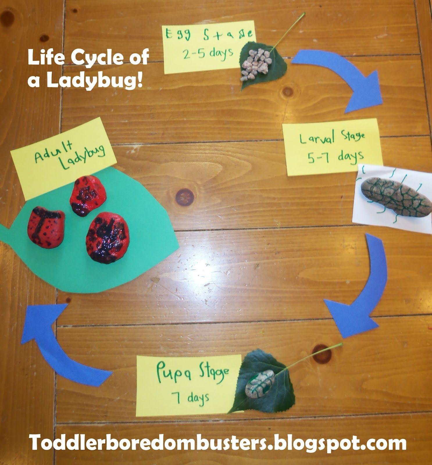 Ladybug Life Cycle With Images