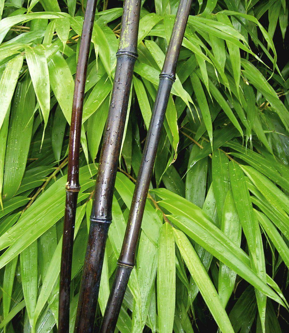 Schwarzer Bambus Black Pearl 1a Qualitat Kaufen Schwarzer