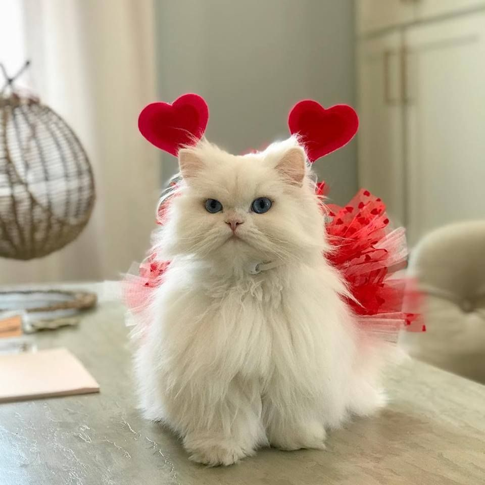 Princess Coco Ready For Valentinesday In Her Beautiful Red Tutu Princesscoco Persiancats Prettycats Cats Cat Animais De Estimacao Gatos Gatinhos Fofos