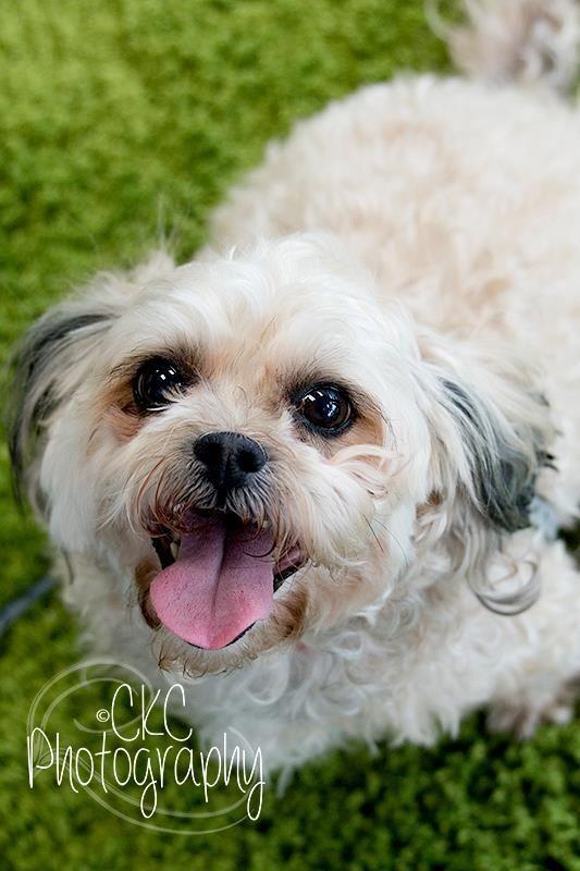 Adopt Gracie on Shih tzu poodle mix, Shih tzu poodle