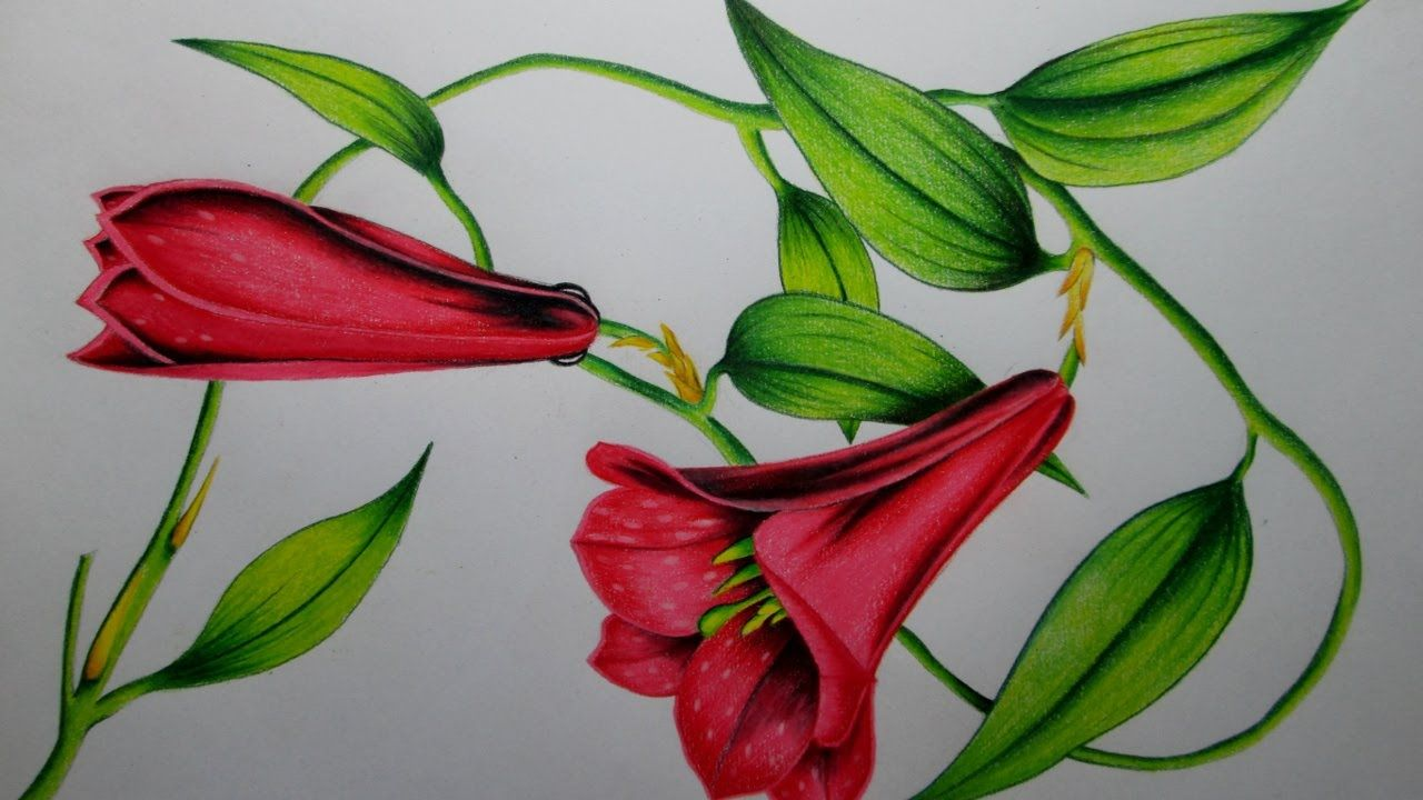 Cómo dibujar una flor con lápices de colores paso a paso, dibujando ...