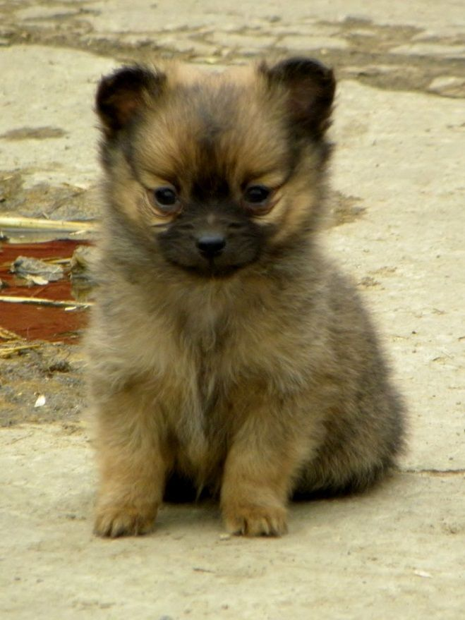 25 Unreal Pomeranian Cross Breeds You Have To See To Believe