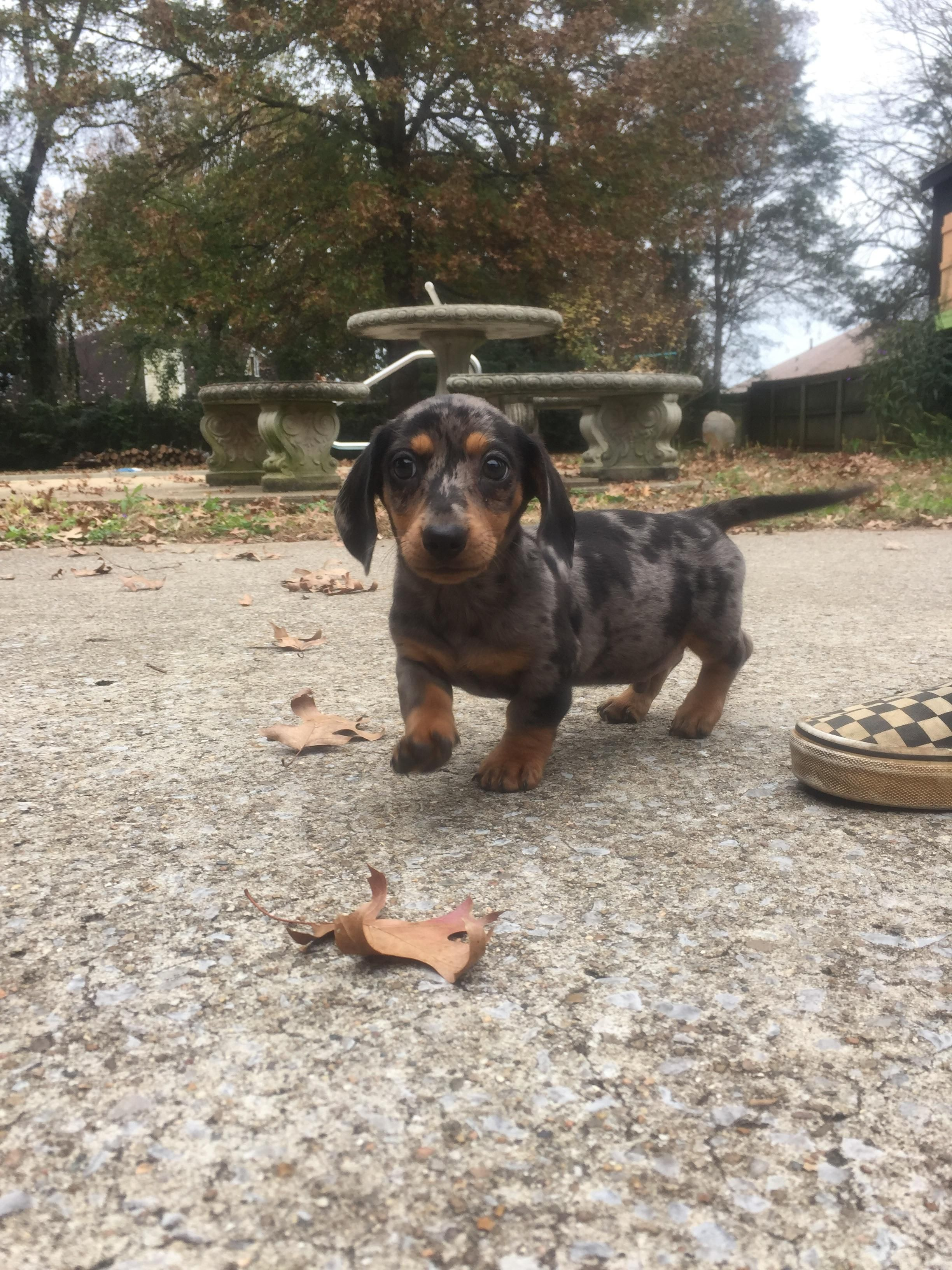 Meet Marvin He Is Our New Addition A Black And Tan Silver Dapple