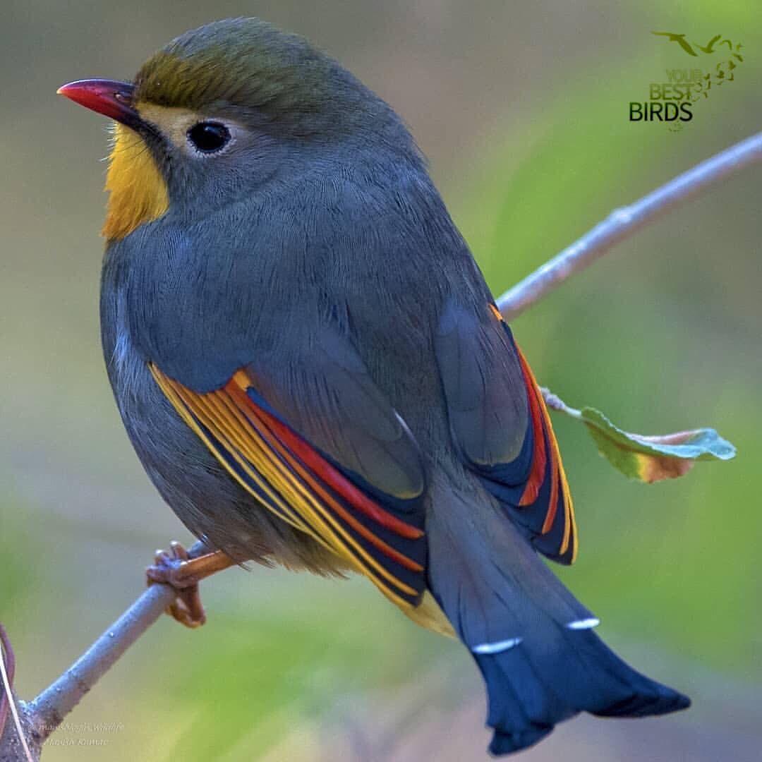 Congratulations Birder Of The Day Manishlogin Bird Of The Day Red Billed Leiothrix Location Pet Birds Beautiful Birds Cute Birds