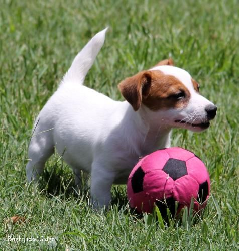 Short Legged Jack Russell Terrier Puppies For Sale Aka Shortiejacks Jack Russell Terrier Puppies Jack Russell Jack Russell Puppies