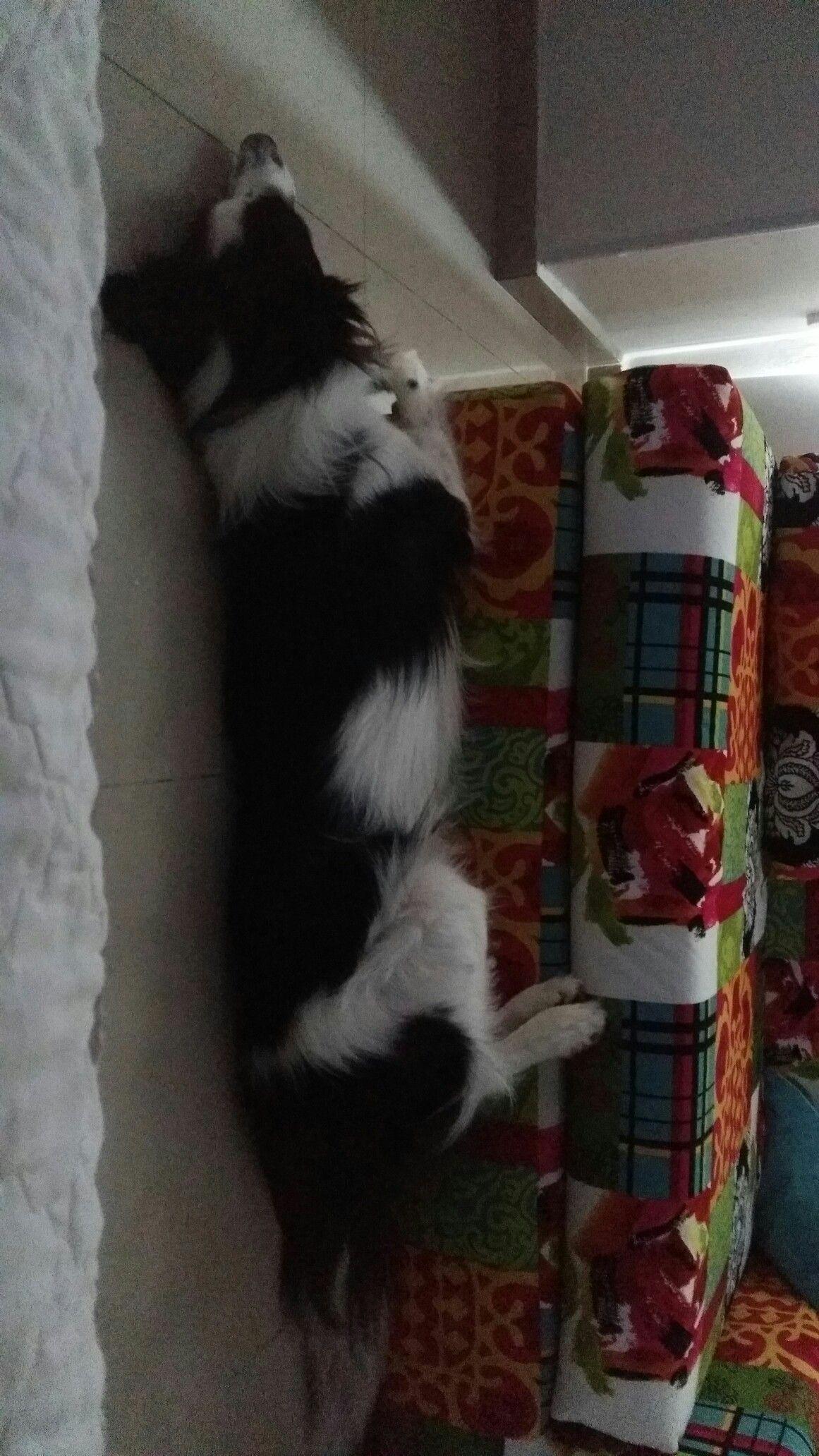 Asi duerme mi gordo border colli Pinterest Collie