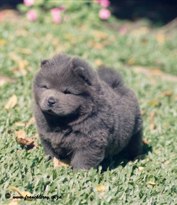 Blue Chow Chow Google Search Chow Chow Dogs Chow Chow Fluffy