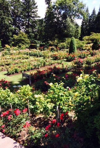 Portland, Oregon Rose Garden-- so fragrant and lovely ...
