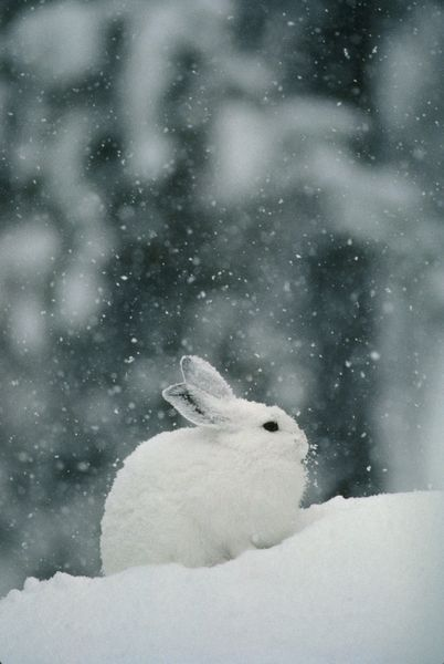 snow falls on a snowshoe hare