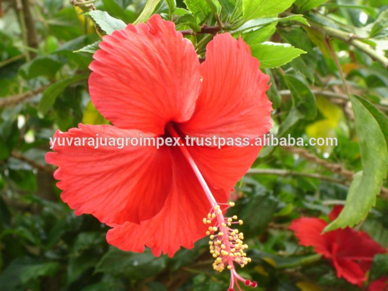 Hibiscus Flower For Extract Ing Powder Buy Dried Hibiscus