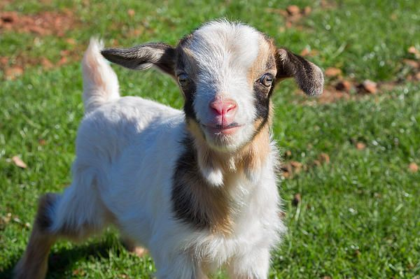 Fine art photograph of an adorable baby goat. This little darling is only a few days old and are already full of mischief. Fine art prints available for sale. ©Kathleen Bishop 2014.