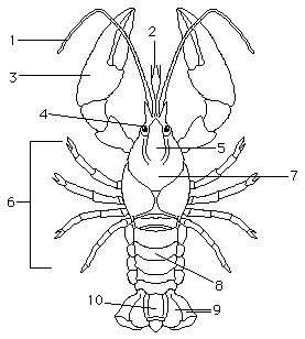 lab sheet: crayfish dissection | classical conversations ... lizard anatomy diagram