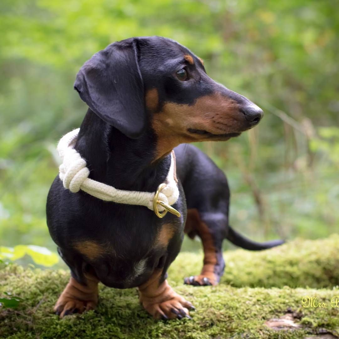 Instagram doxie dachshund pinterest dachshunds