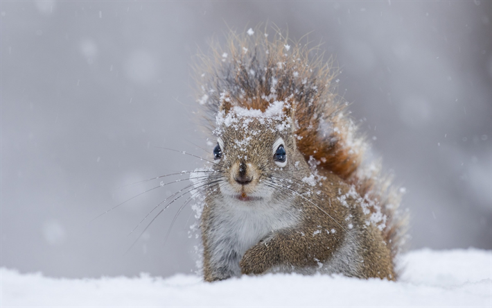 Download wallpapers winter, squirrel, snow, wildlife