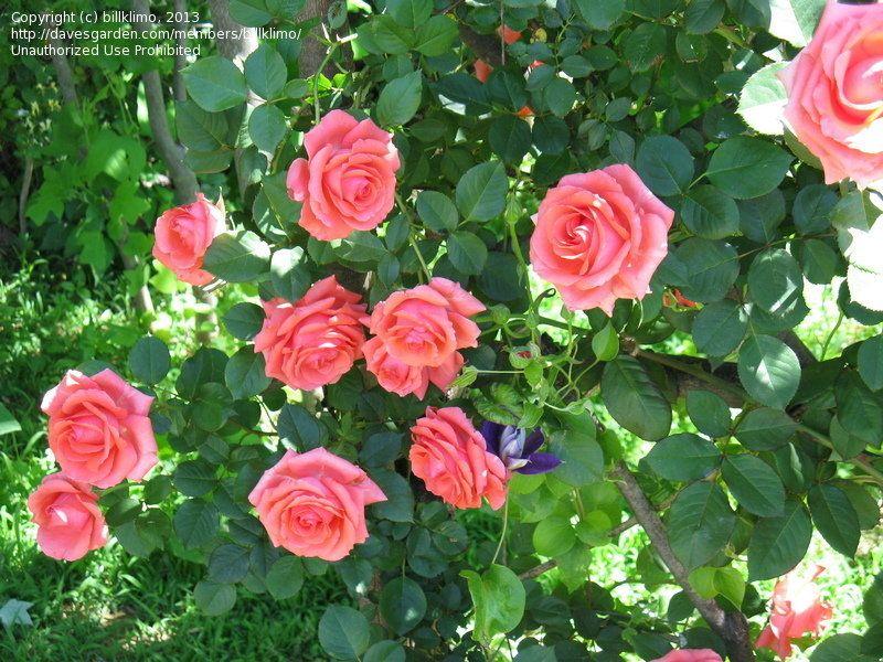 Climbing Rose America