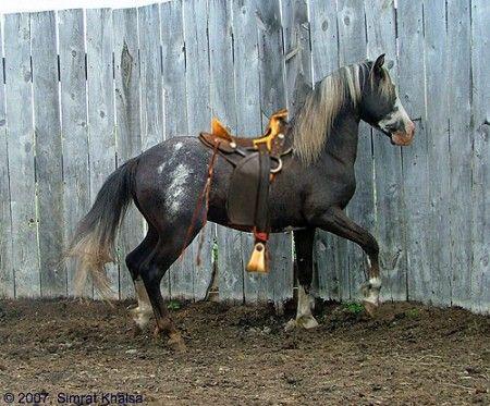 Spanish Mustang - beautiful