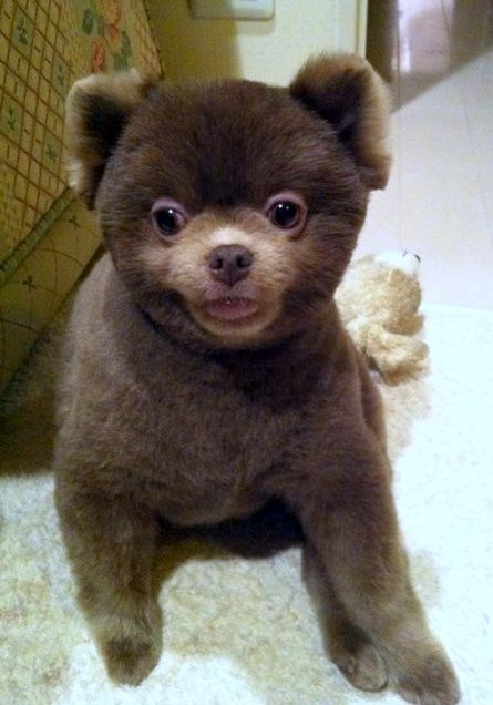 Grooming Puppy Pomeranians Cut