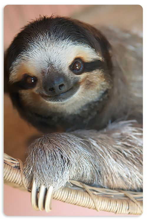 Картинка ленивец смешная