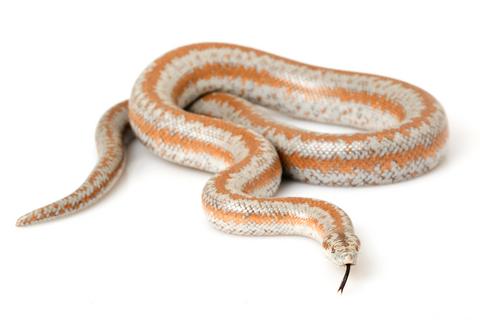 Rosy Boa for Sale Reptiles for Sale in 2020 Rosy boa