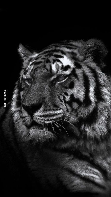Majestic Af Tiger Wallpaper Pet Tiger Tiger Wallpaper Iphone