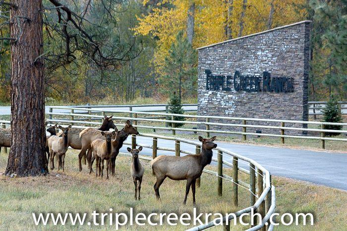 Wapiti welcoming committee at Triple Creek Ranch.