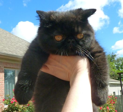 American shorthair cat price malaysia