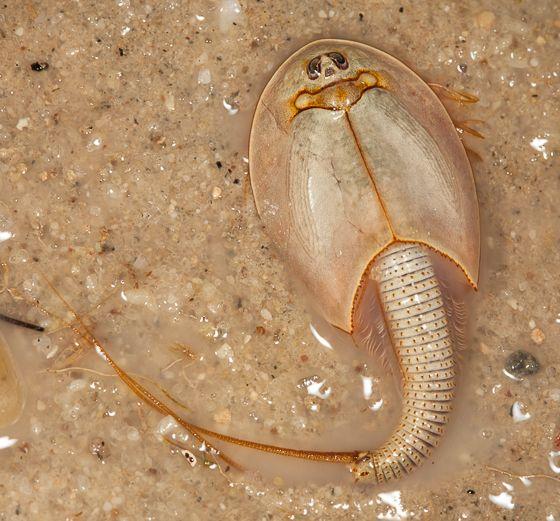 Longtail Tadpole Shrimp Triops Longicaudatus