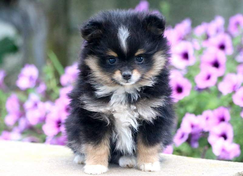 Summer With Images Pomeranian Puppy